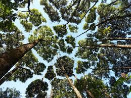 the phenomenon of crown shyness where trees avoid touching