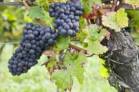 Planting Grapes In Backyard Growing Grapes And Making Homemade Wine Real Food Mother Earth
