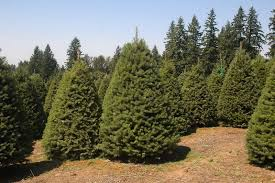 jeffco gardener what does grow pine trees by nancy szilagyi
