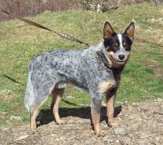 australian shepherd blue heeler 6 heeler colors rightwayranch hotmail com