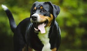 Table Mountain Animal Shelter by Greater Swiss Mountain Dog Breed Information