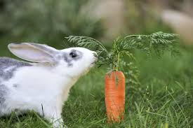 do rabbits really love carrots howstuffworks