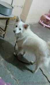 american eskimo dog in india american eskimo dog online shopping sell buy american eskimo dog