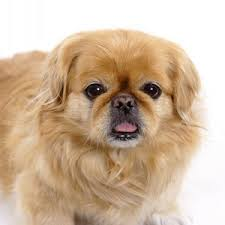 serena parker afghan hound judge pekingese dog fun animals wiki videos pictures stories