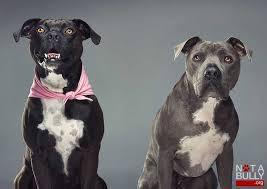 Seeking Pitbull 82 Best Pitbull Terrier Dogs Images On Pit Bulls