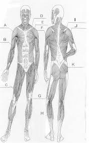 Anatomy And Physiology Muscle Labeling Exercises Human Anatomy Chart Page 71 Of 202 Pictures Of Human Anatomy Body