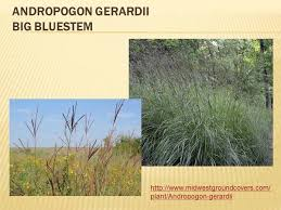 Big Bluestem Ornamental Grass Grasses Des Moines Iowa Landscaping Perennial Gardens
