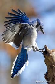 654 best jays images on pinterest blue jay beautiful birds and