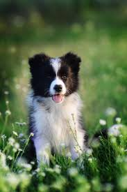 2868 best for the love of border collies images on pinterest