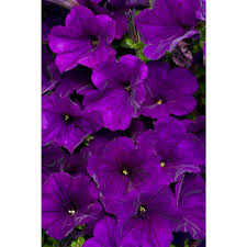 home depot spring black friday 2016 bonnie plants home depot garden plants zandalus net