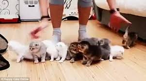Herding Cats Meme - photographer tries to line up 10 playful kittens daily mail online