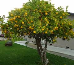 grow your own lemon tree out of store bought lemons in 11 easy