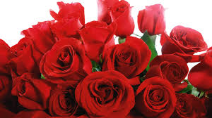 roses for valentines day himachal flowers in high demand before v day supportbiz