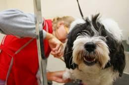 australian shepherd grooming needs australian shepherd dog breed information on australian shepherds