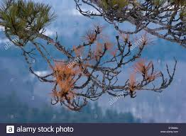 Forest Backdrop Dying Pine Tree Branch Against A Wintry Forest Backdrop Stock