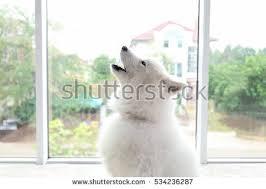 belgian shepherd howling dog howling stock images royalty free images u0026 vectors shutterstock