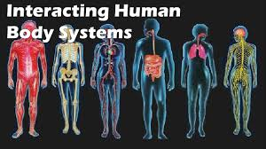 interacting human body systems youtube