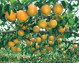 temperate climate permaculture permaculture plants asian pears