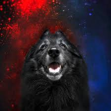 belgian sheepdog newsletter belgian sheepdog artwork 16 photograph by wolf shadow photography