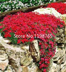 free shipping 300 perennial flowering groundcover seeds rock