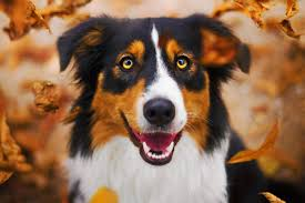 australian shepherd fabric compare prices on dog artwork online shopping buy low price dog