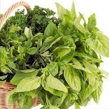 herbe cuisine basilic ou ocimum basilicum herbe aromatique