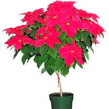 poinsettia tree poinsettia tree euphorbia pulcherrima ontario