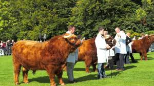 royal winner hm the queen u0027s highland bull wins glasgow cattle