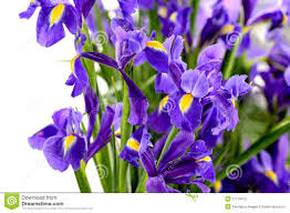 Spring Flower Pictures Stock Flower Royalty Free Stock Images Image 26152259
