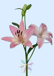 lilies flower flower information cut flower flower shop network