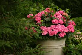 Shrubs For Patio Pots Dwarf Hydrangeas For Containers Hgtv