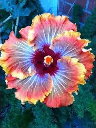 What Is The Meaning Of The Hibiscus Flower - fiery furnace hibisc beautiful gorgeous pretty flowers all the