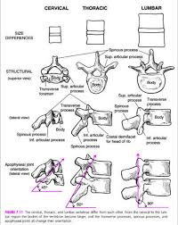 vertebral facet orientation anatomy pinterest anatomy