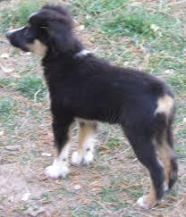 miniature australian shepherd 3 months toy australian shepherd rachel
