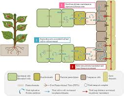frontiers viral and cellular factors involved in phloem