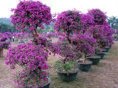 Bougainvillea Topiary - beautiful bougainvillea topiary trees garden finds pinterest
