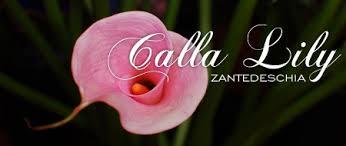 Calla Lily Flower Calla Lily Fsn U0027s Favorite Flower For November