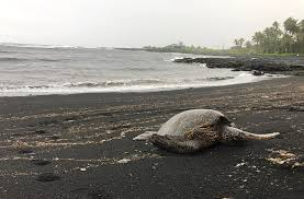 black sand beach big island sea turtle on black sand beach 3 different color beaches on hawaiis