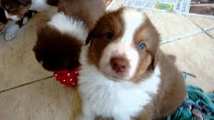 australian shepherd 1 year old australian shepherd puppies 4 weeks old youtube