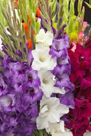 gladiolus flowers gladiolus information from flowers org uk