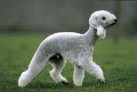 bedlington terrier stud bedlington terrier general features temperament health