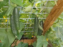 Growing Melons On A Trellis Love Growing Our Cukes Up A Trellis Or Cage It U0027s A Space Saver