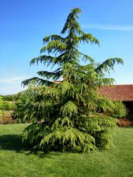 cutting back cedar trees safely learn how to prune an overgrown