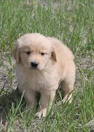 Comfort Retriever Puppies For Sale Colorado U0027s Finest Kennel And Ranch Golden Retriever And Lab Breeders