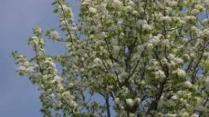 Trees With White Flowers White Flowers On A Branch With Green Leaves Moving In The Wind In