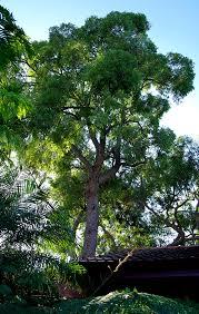 jarrah tree the crows home jan s garden