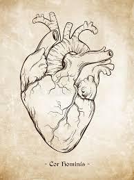 hand drawn line art anatomically correct human heart da vinci