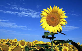 foto wallpaper bunga matahari gambar bunga matahari yang cantik inspiration pinterest