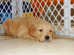 goldendoodle puppy virginia golden doodle puppies for sale in richmond virginia west va