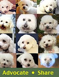 bichon frise breeders in pa bichon frise rescue of northern new jersey sponsored by the